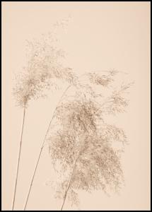 Bildverkstad Reed Grass Poster
