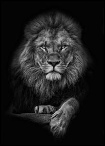 Lagervaror egen produktion Focused lion Poster