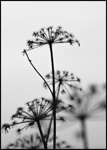 Bildverkstad Black And White Flowers Poster