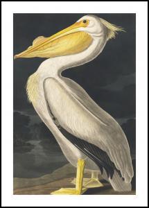 Lagervaror egen produktion American White Pelican Poster