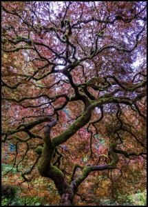 Bildverkstad Japanese Maple Tree