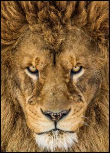 Bildverkstad Serious Lion