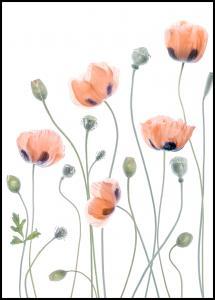 Lagervaror egen produktion Poppies Poster